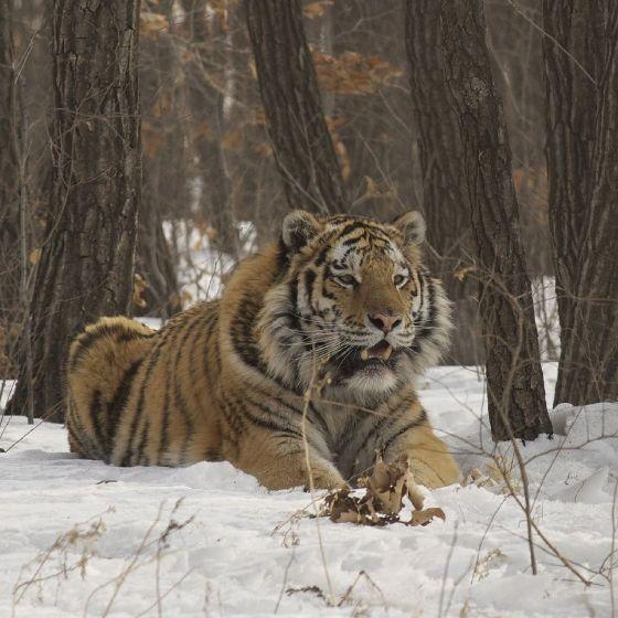 Amba - rosyjski tygrys