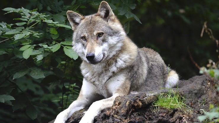 Beztroska zabawa wilczej rodziny w rejonie Babiej Góry [WIDEO]