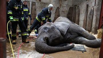 Strażacy pomagali... podnieść się słonicy