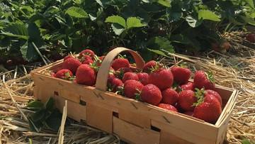 2020-06-01 Złodzieje truskawek. Jeden z rolników stracił 100 kilogramów owoców
