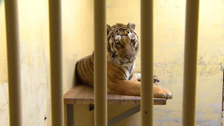 Pięć tygrysów trafi do azylu w Hiszpanii. Wiadomo, kiedy zostaną tam przewiezione