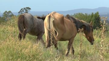Końskie fermy krwi. Aktywiści alarmują o okrucieństwie, sprawą zajmie się Parlament Europejski