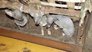 Psy zamknięte w tapczanie, skrajnie wyczerpane. Odebrano prawie 40 zwierząt