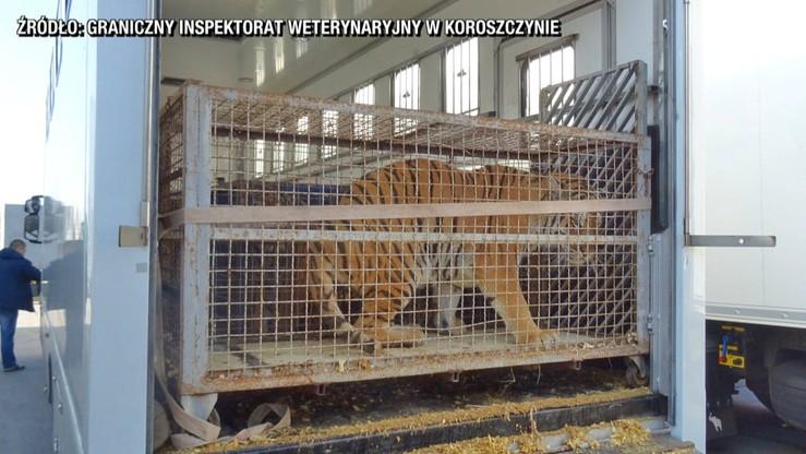 """Poznańskie zoo przyjmie tygrysy, które utknęły na granicy. """"Nie wiemy, ile z nich przeżyje"""""""