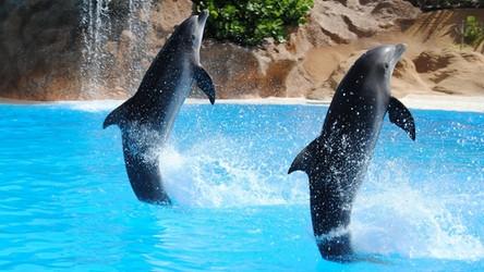 01-06-2020 07:00 Jesteśmy coraz bliżej poznania języka delfinów. Pomaga sztuczna inteligencja
