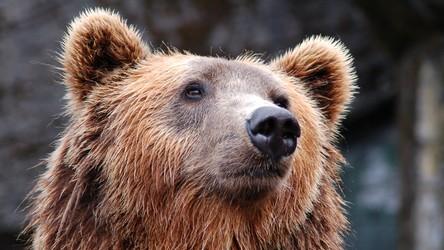 Zapadające w sen zimowy niedźwiedzie pomogą nam w skutecznej walce z otyłością