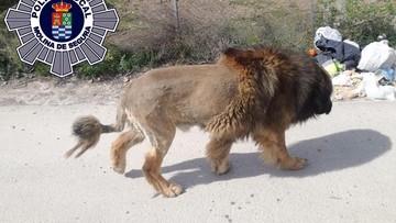 Pies jak lew. Mieszkańcy przerażeni, interweniowała policja