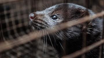 Polacy przeciwni hodowli zwierząt na futra