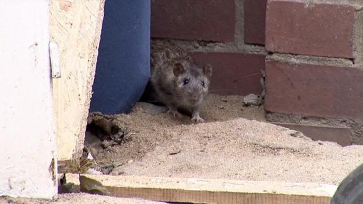 Atak szczura w mieszkaniu. Mężczyzna trafił do szpitala