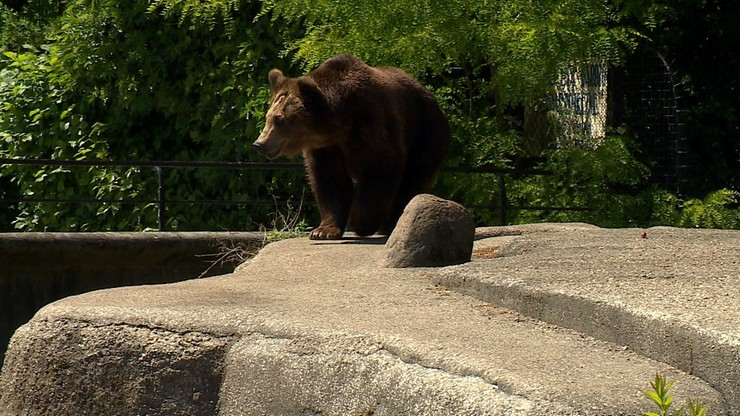 Koniec wybiegu dla niedźwiedzi przy ulicy. Zmiana w warszawskim zoo