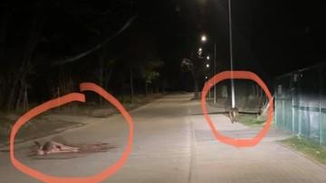 Wilk zapolował na środku wsi. Obok przystanku szkolnego